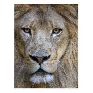 León en el parque zoológico de Sacramento CA del Tarjeta Postal