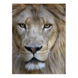 León en el parque zoológico de Sacramento, CA del Tarjetas Postales