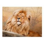 León majestuoso postal