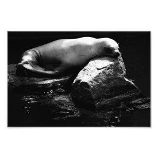 León marino .1781 el dormir cojinete