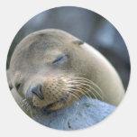 León marino del bebé, islas de las Islas Galápagos Etiqueta Redonda