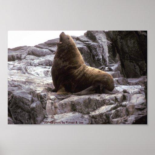 León marino del poster/masculino de Steller