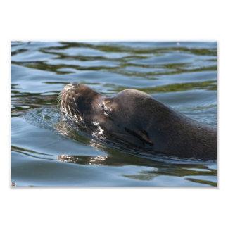 León marino impresiones fotográficas
