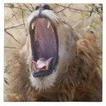 León masculino (Panthera leo) que bosteza, Masai M Azulejo Cuadrado Grande