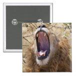 León masculino (Panthera leo) que bosteza, Masai M Pin Cuadrado
