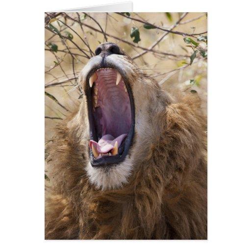 León masculino (Panthera leo) que bosteza, Masai M Tarjeta De Felicitación