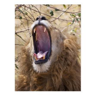 León masculino (Panthera leo) que bosteza, Masai M Postales