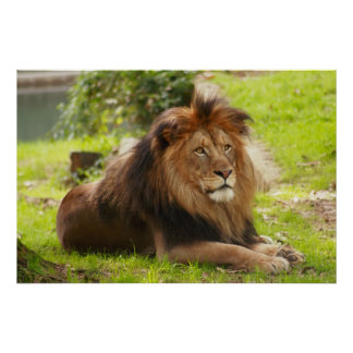 León masculino póster