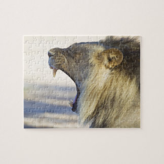 León masculino que da un bostezo o un gruñido gran rompecabezas con fotos