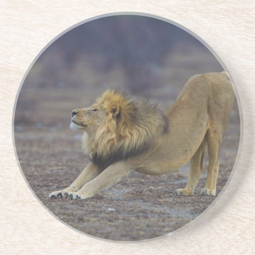 León masculino que estira la yoga de Leo del Panth Posavasos Diseño