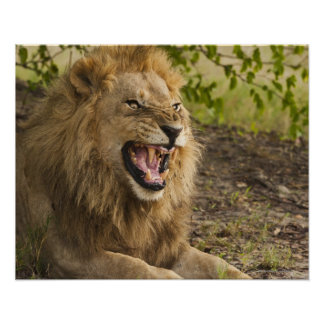 León masculino que gruñe (Panthera leo), Okavango Posters