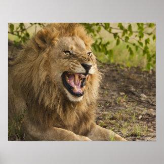 León masculino que gruñe (Panthera leo), Okavango Póster