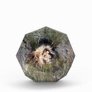 León masculino que miente en hierba larga