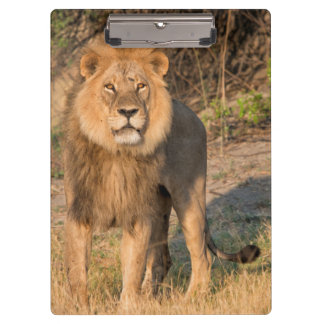 León masculino que mira el espectador, en prado