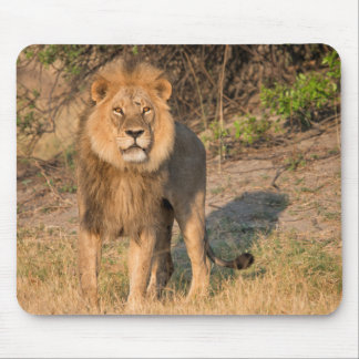 León masculino que mira el espectador, en prado mouse pads
