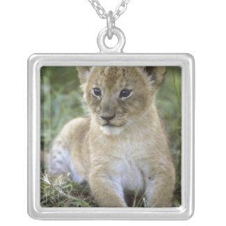 León, Panthera africanos leo), Tanzania, Collares Personalizados