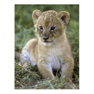 León, Panthera africanos leo), Tanzania, Tarjeta Postal