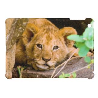 León (Panthera Leo) Cub en la cueva, Maasai Mara