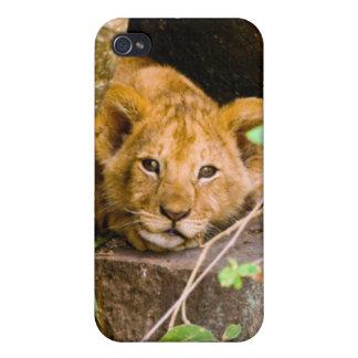 León (Panthera Leo) Cub en la cueva, Maasai Mara iPhone 4/4S Carcasa