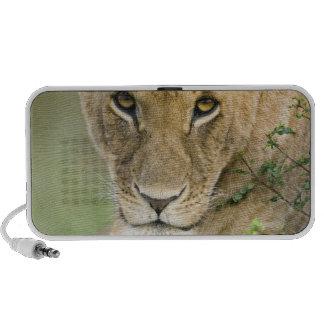 León, Panthera leo, Masai Mara, Kenia Altavoz