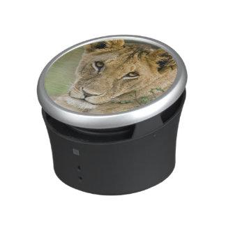 León, Panthera leo, Masai Mara, Kenia Altavoz Bluetooth