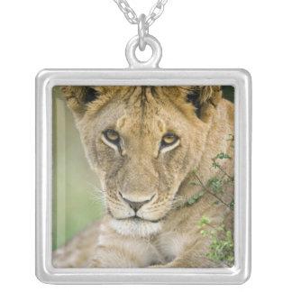 León Panthera leo Masai Mara Kenia Colgante