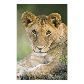 León, Panthera leo, Masai Mara, Kenia Impresión Fotográfica