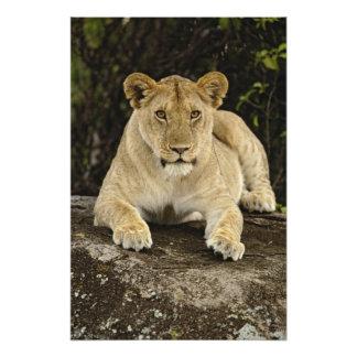 León, Panthera leo, parque nacional de Serengeti, Cojinete