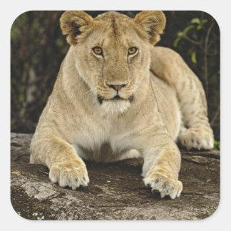 León, Panthera leo, parque nacional de Serengeti, Calcomanías Cuadradas