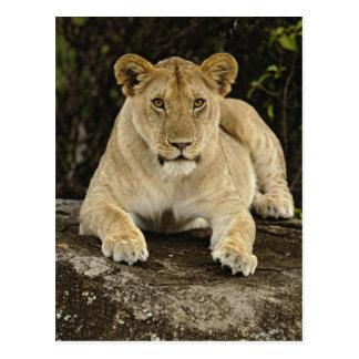 León, Panthera leo, parque nacional de Serengeti, Postal