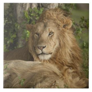 León, Panthera leo, reclinación de los varones Azulejo Cuadrado Grande