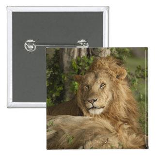 León, Panthera leo, reclinación de los varones Pin Cuadrado