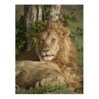 León, Panthera leo, reclinación de los varones Tarjeta Postal