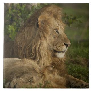 León, Panthera leo, una Mara más baja, Masai Mara  Azulejo Cuadrado Grande