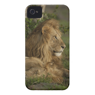 León, Panthera leo, una Mara más baja, Masai Mara iPhone 4 Coberturas
