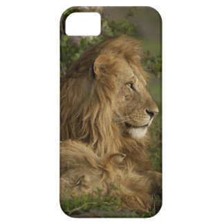 León, Panthera leo, una Mara más baja, Masai Mara iPhone 5 Fundas