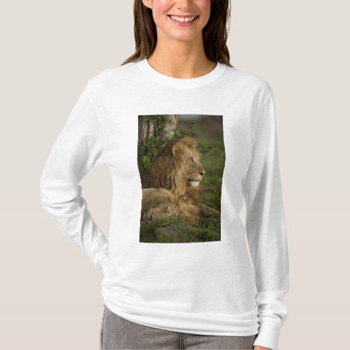 León, Panthera leo, una Mara más baja, Masai Mara Playera