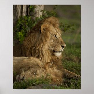 León, Panthera leo, una Mara más baja, Masai Mara  Póster