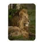 León, Panthera leo, una Mara más baja, Masai Mara  Rectangle Magnet