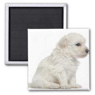 León pequeno de chien o pequeño perrito del perro  imán cuadrado