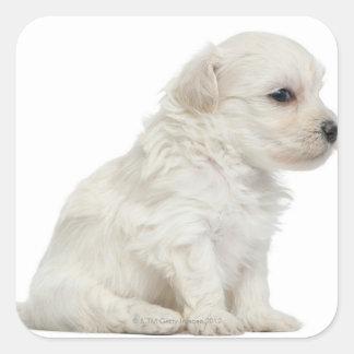 León pequeno de chien o pequeño perrito del perro calcomanías cuadradass