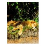 León perezoso tarjetas postales