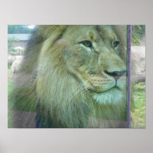león que mira fijamente el vidrio póster