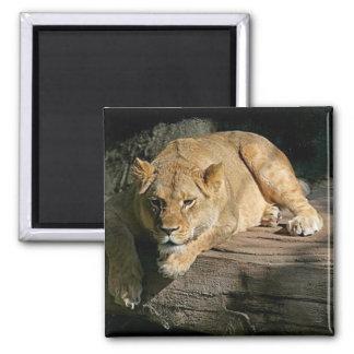 león-reclinación imán cuadrado