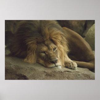 León soñoliento impresiones