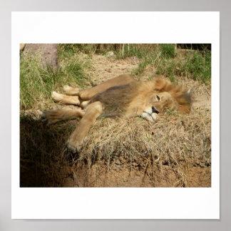 león soñoliento póster