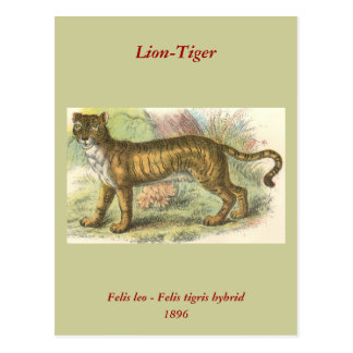 León-Tigre (híbrido del Tigris del Felis de leo Tarjeta Postal