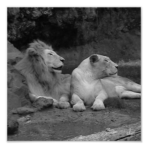 León y leona (poster de la vida animal 4) póster