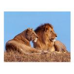 León y leona tarjeta postal