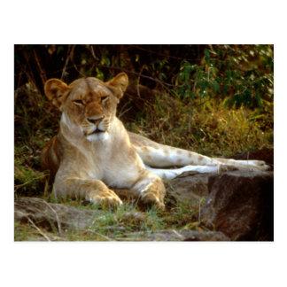 Leona africana de descanso del león tarjeta postal